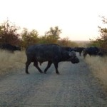 buffalo, kruger park, south africa, latent lifestyle, destination, guide