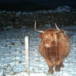 highland cow, south uist, western isles, scotland, latent lifestyle, destination, guide