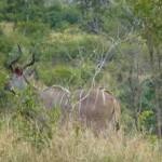kudu, kruger park, latent lifestyle, destination, guide, south africa