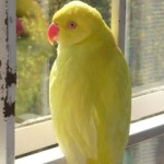 Ringneck Parakeet, Potential, latent lifestyle, act anyway