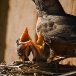 Robin, nest, latent lifestyle, act anyway, potential, decisions