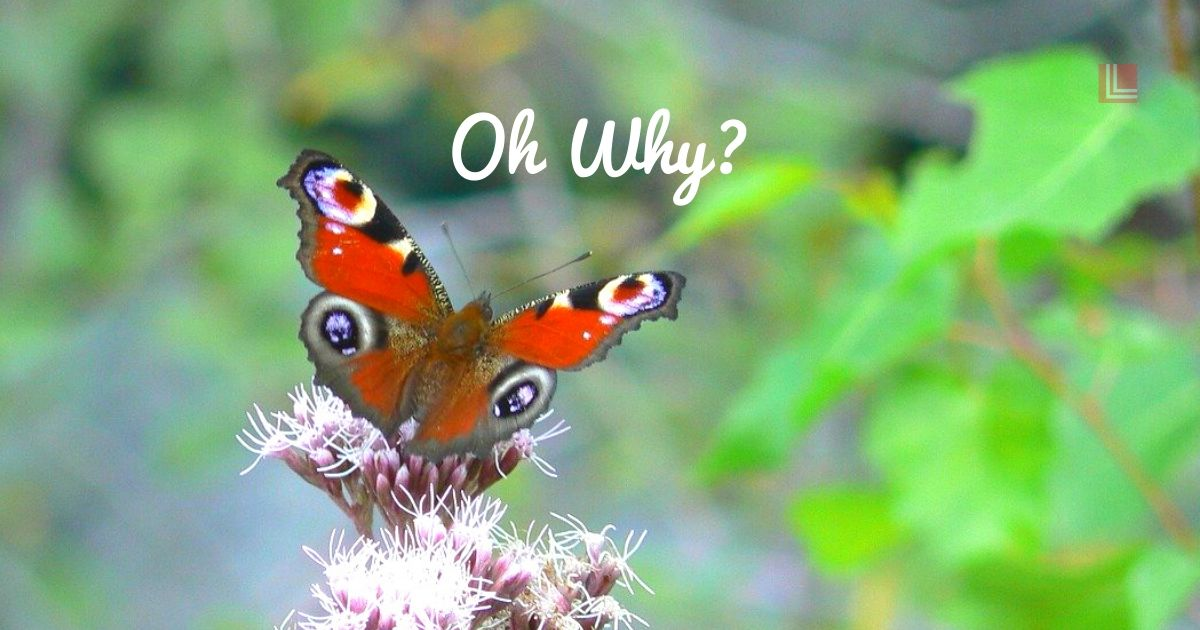 Oh Why, Butterfly, LL